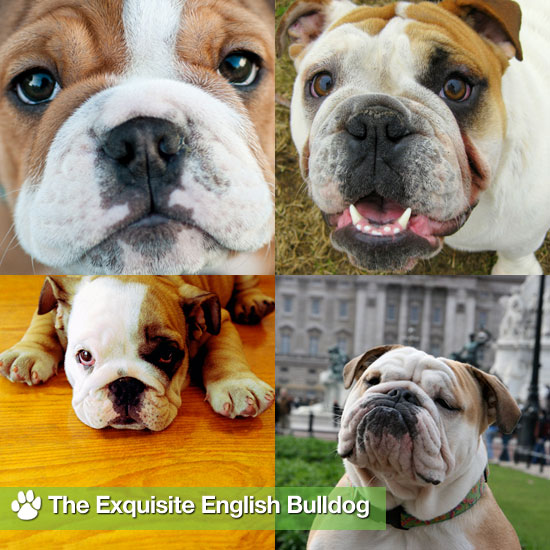 The Exquisite English Bulldog