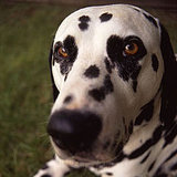 Dalmatian Trivia