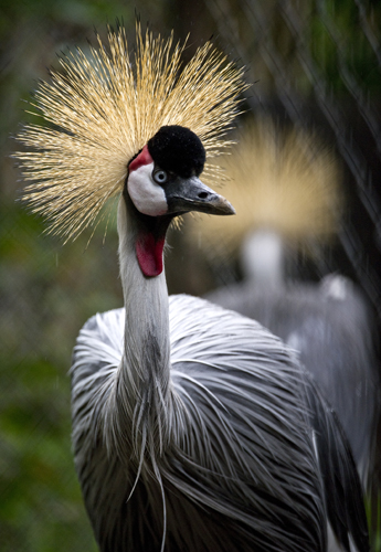 A crowned crane at the aviary El Nido.