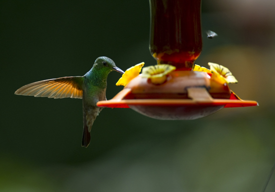 A bee hummingbird at the aviary El Nido.