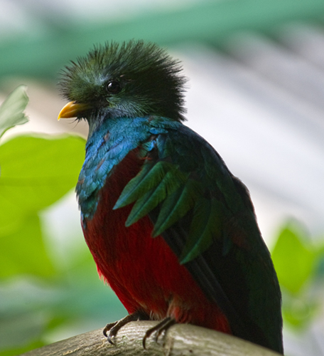 A male Quetzal at the aviary El Nido.