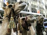 The camels are ready to rehearse.