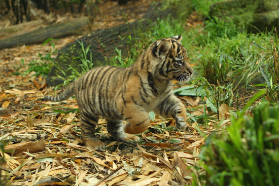 Cute Alert: Tiger Triplets at the Taronga Zoo