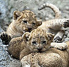 Lion Cubs Cuddling