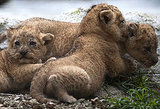 Cute Alert: Lion Cubs Cuddling