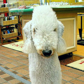 Bedlington Terrier Breed Facts