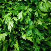 Flat Leaf vs. Curly Leaf Parsley
