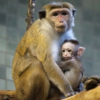 Baby Macaque Pictures
