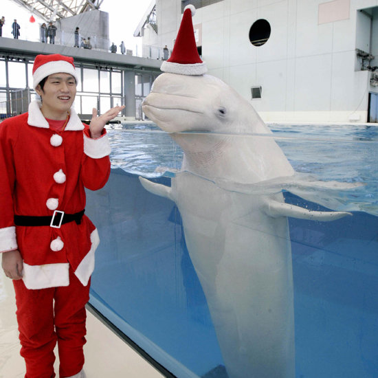 Santa Visits Beluga Whales