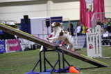 Attacking the seesaw at the Agility competition. Source: AKC/Lisa Croft-Elliott