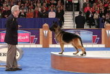 "GCH CH Babheims Captain Crunch (""Cap""), the noble German Shepherd, looks like he laid off the cereal in preparation for his win in the Herding group. Source: AKC/Robert Young"