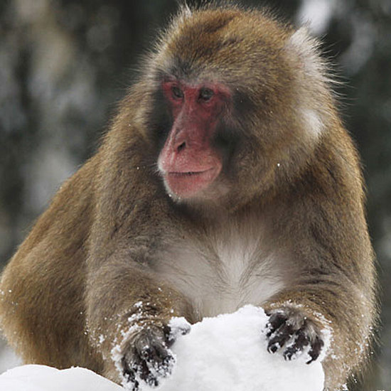 A Monkey Making a Snowball
