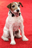 Uggie arrives gussied up in a bow tie.