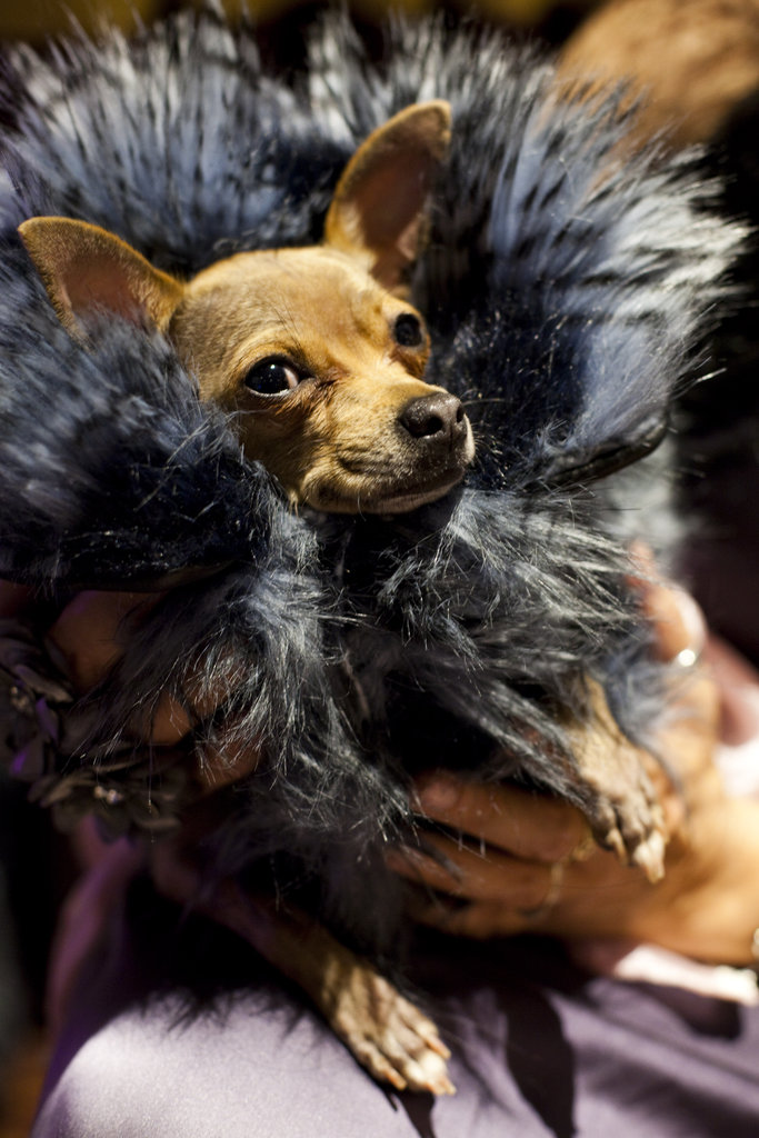 Aptly named Miu Miu, this Chihuahua looks fierce in fur.