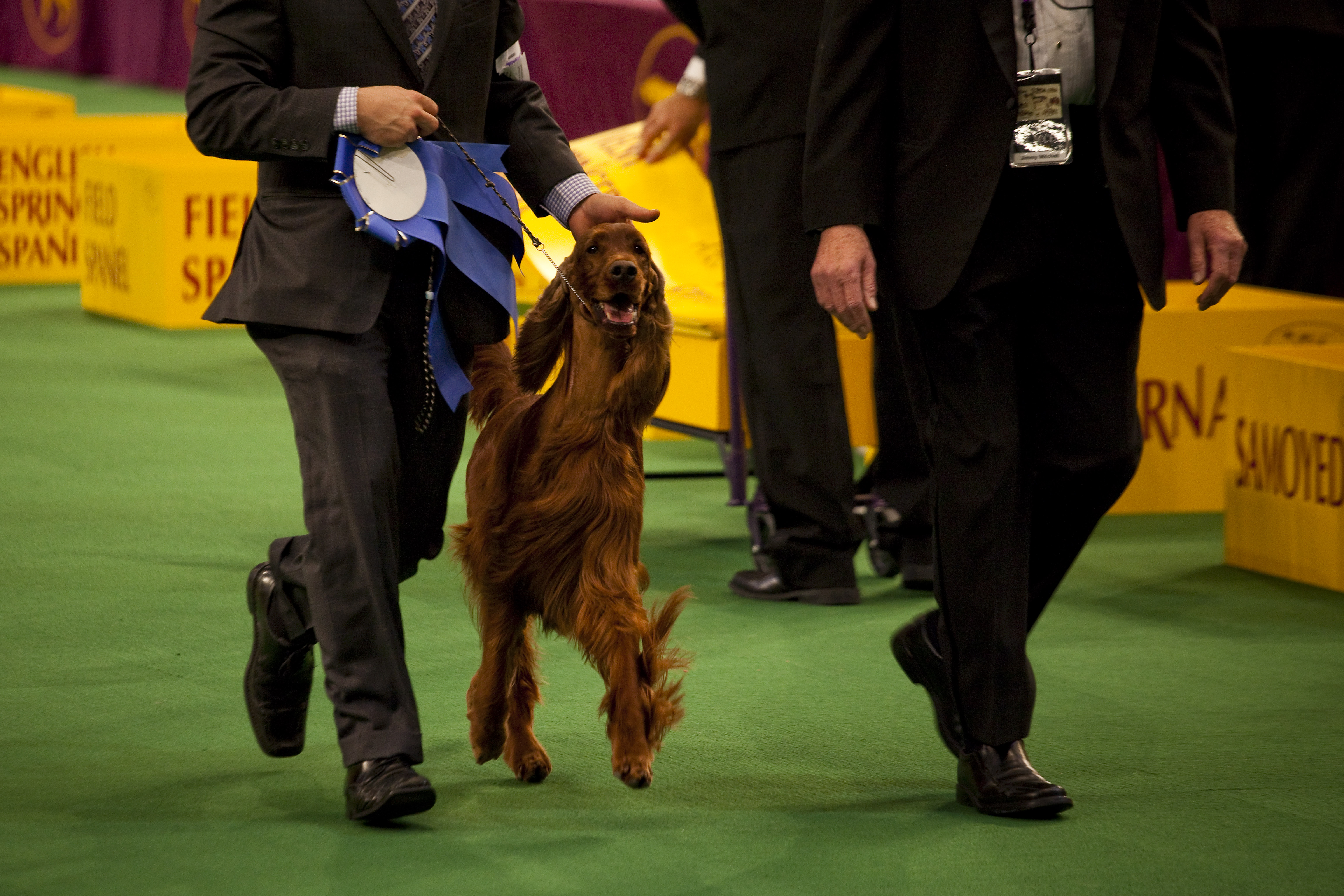 Emily, the lovely Irish Setter, and winner of the Sporting group.