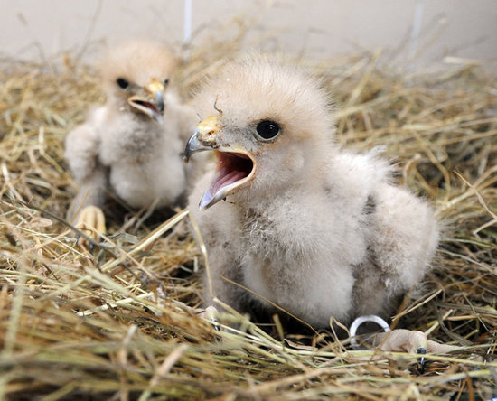 These Harris's hawk chicks can't hide their excitement about Spring! Source: Getty