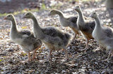 The cuteness of these little goslings may give Ryan a run for his money! Source: Getty