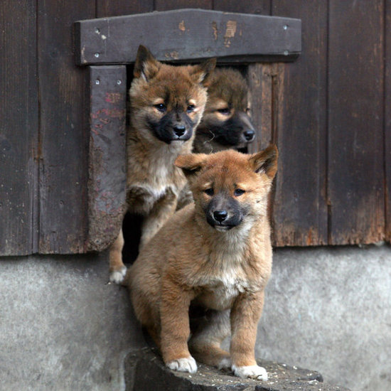 We Go Dingo For These Adorable Pups!
