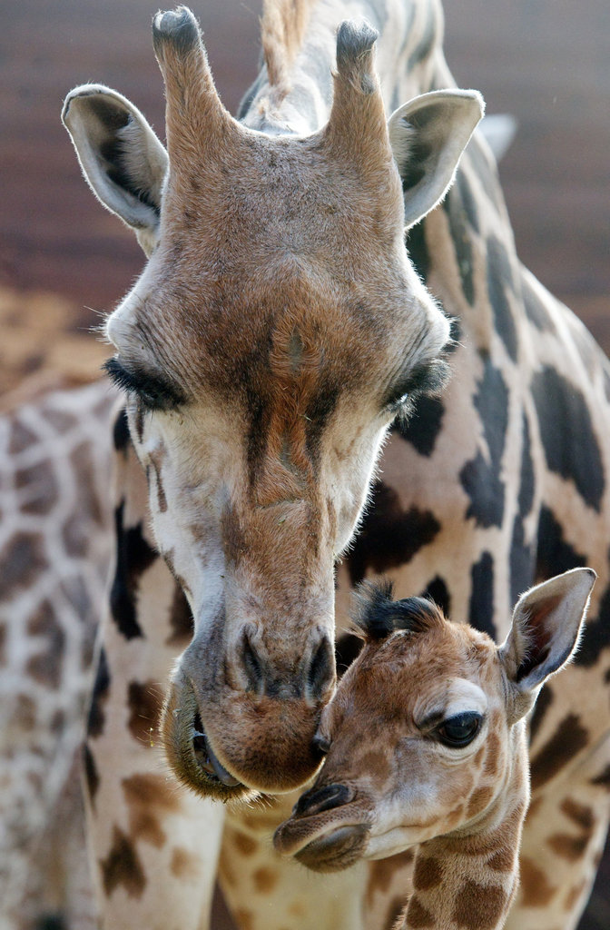 A young giraffe gets comfort from his mama at a zoo in Germany.