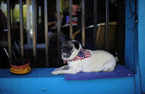This pug-nacious campaigner for Mitt Romney takes a breather during a rally in Florida.