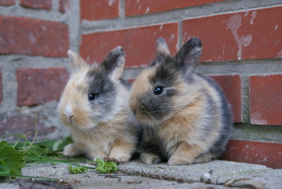 "Germans who settled in the Pennsylvania Dutch area told tales of the ""Osterhas,"" which refers to a hare, not a rabbit. Source: Flickr User jpockele"