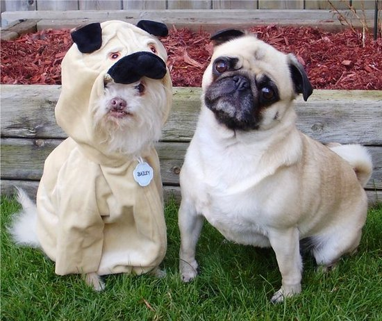 Everybody Wants To Be A Pug!