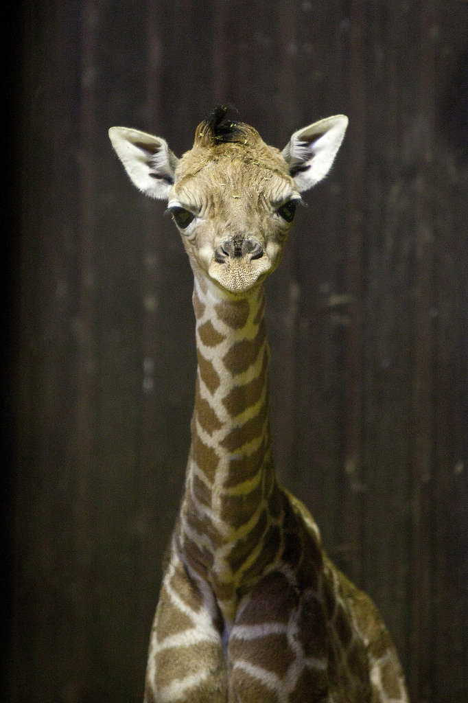 At just 3 days old, this calf seems supercurious about onlookers at the Zoo Aquarium of Madrid.