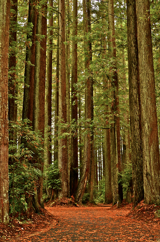 Redwood Forests, California