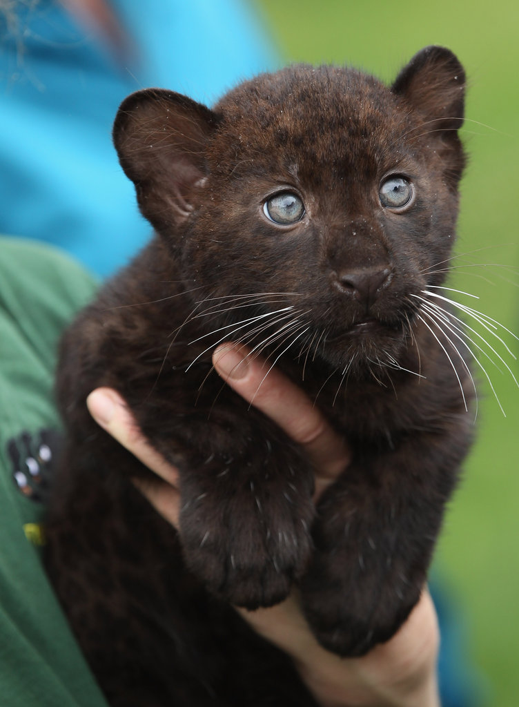 Panther cubs are born with their eyes closed, opening them only about 10 days later. This cub, now about 3 months old, is wide-eyed and curious about the world!