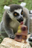 A ring-tailed lemur licks a fruit pop in a zoo near Tel Aviv.