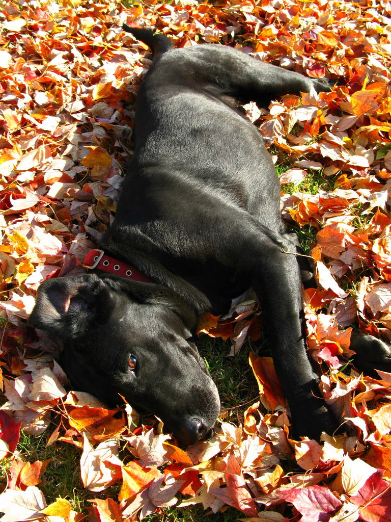 A day of playing in the leaves earns some nap time in the leaves. Source: Flickr user OakleyOriginals