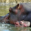 Pictures of Baby Hippo Born at Planete Sauvage in France