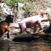 Video of Pig Saving Goat From Drowning