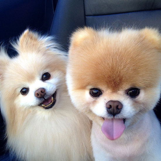 Pom, Pom, Pom . . . Hear That? It's a Pomeranian Parade!