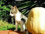 Never fear a pumpkin that's larger than you. Keep in mind that you can run faster. Source: Flickr user Yellow.Cat