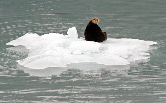Global Warming? No Problem, Say Sea Otters