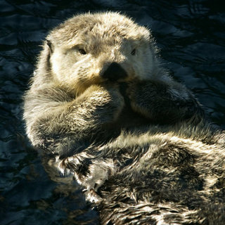 Sea Otters Facts