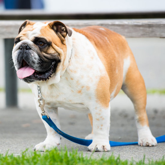 Dog Weight Loss Tips For Walking