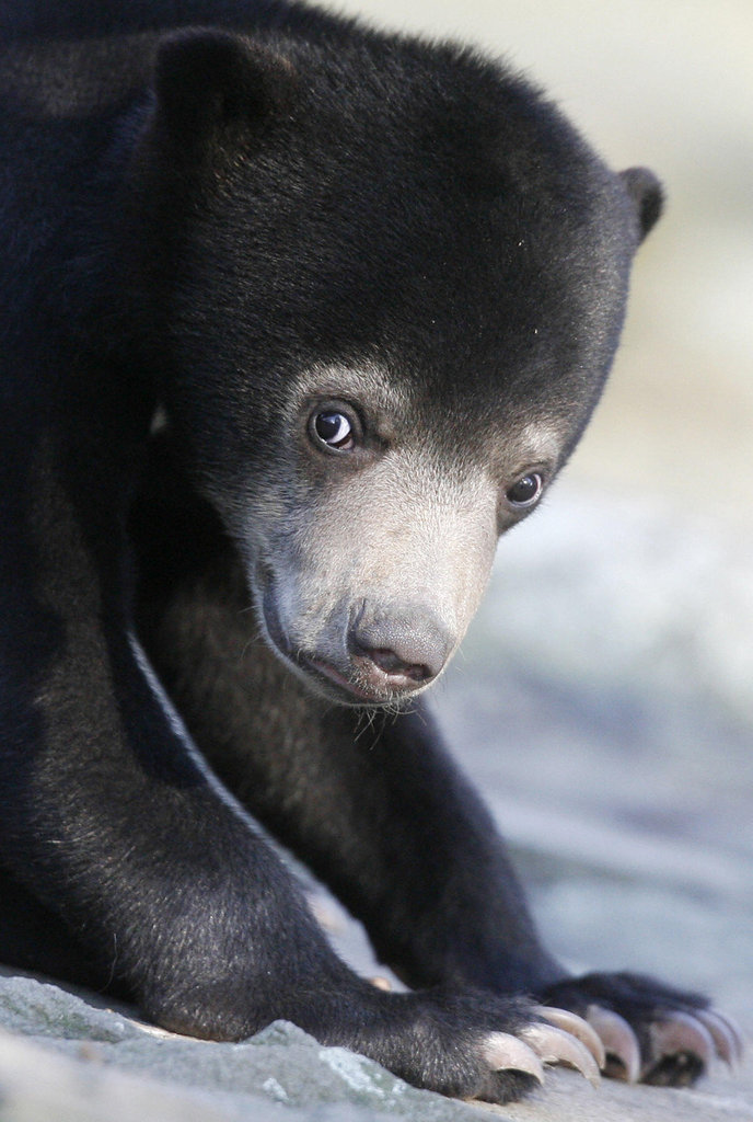 Little sun bear cub Ernst was Knut's neighbor at the Berlin Zoo, where he shared an enclosure with his mother. Though far less famous, we think he's just as cute!