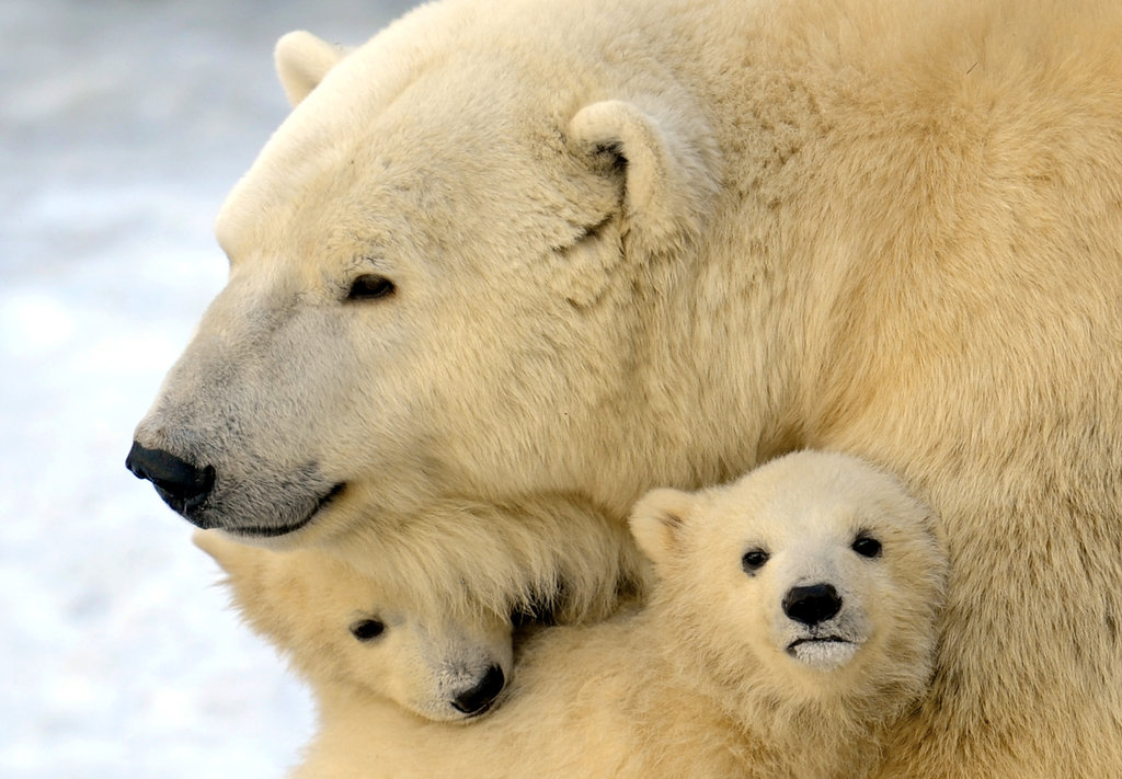 Twin polar bear cubs got a warm snuggle in the snow.