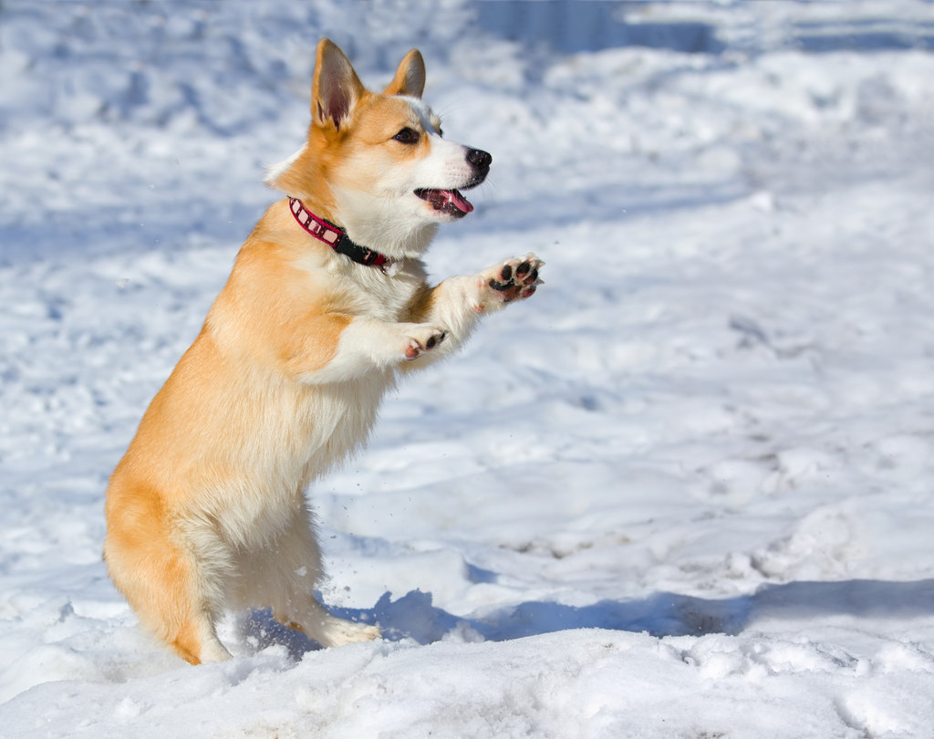 This Corgi couldn't contain his excitement for some wintry fun.