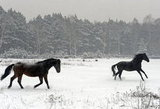 Two horses trotted across a snowy meadow in Warsaw, Poland.