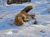 Fox in the snow, where do you go?