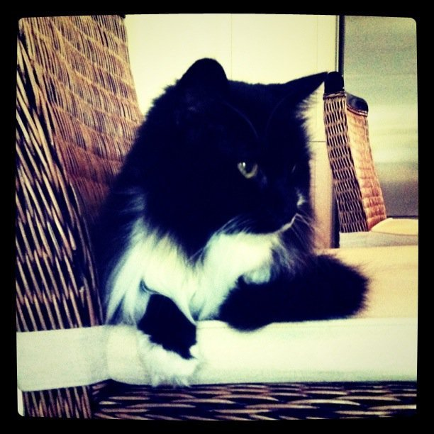 Chelsea Sutherland from ad ops has a black and white Maine Coon cat named Salsa.