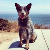 Vanessa Beletic, freelance producer for PopSugarTV, shared a snap of her handsome Australian Cattle Dog, Arrow.