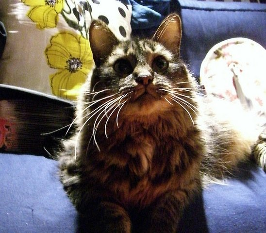 Copy Editor Alicia Lu's Maine Coon mix, Humba, is the most cuddly cat in the world. Trust me, I know from personal experience.