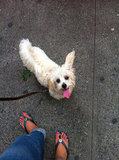 Junior Account Manager Samantha Litvack's Maltipoo, Benji, looked up adoringly at his owner.