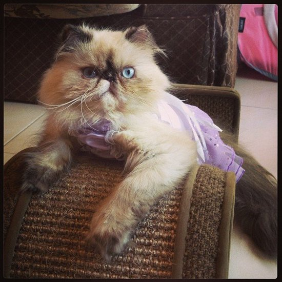 Here's a cat that knows how to wear a dress. Source: Instagram user aziaheleena86