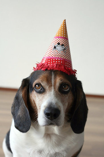 Sure, this pup might not look totally enthused about wearing his party hat, but he's sure darn cute. Source: Flickr user prettyinpink