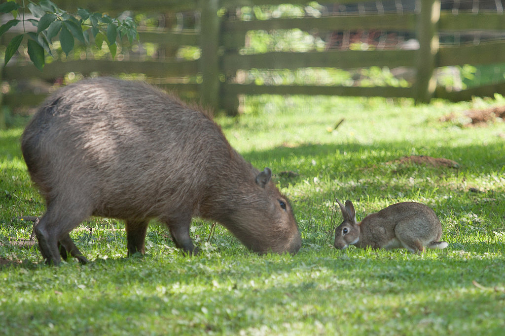 Capybaras seem like the chillest animals in the whole animal kingdom, so it's no wonder this bunny wants to sit at the same lunch table, er, graze in the same patch of grass. Source: Flickr user nichbar